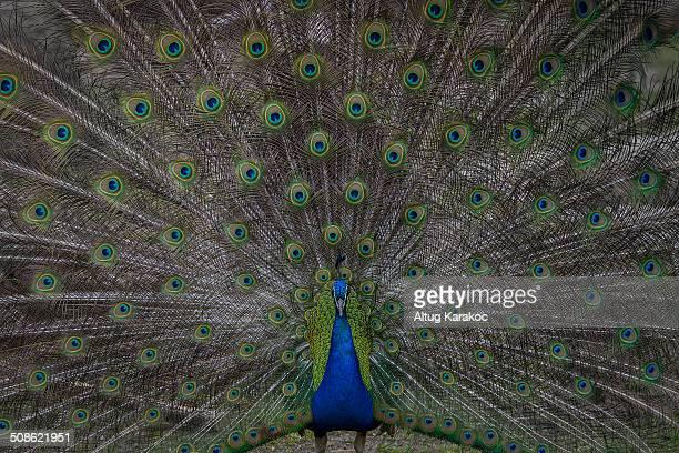 peacock - altug karakoc - fotografias e filmes do acervo
