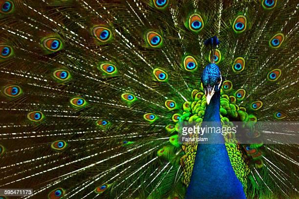 peacock - paon photos et images de collection