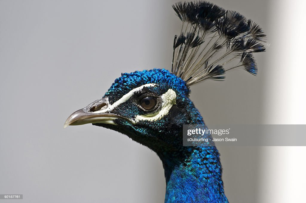 Peacock : Stock Photo