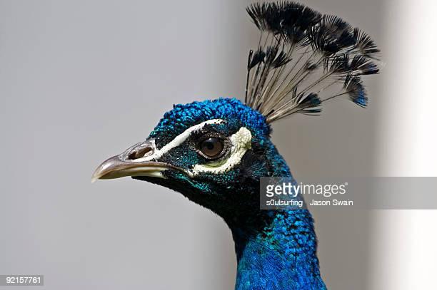 peacock - s0ulsurfing stock pictures, royalty-free photos & images