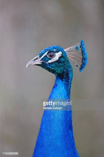 peacock portrait - royal blue stock pictures, royalty-free photos & images