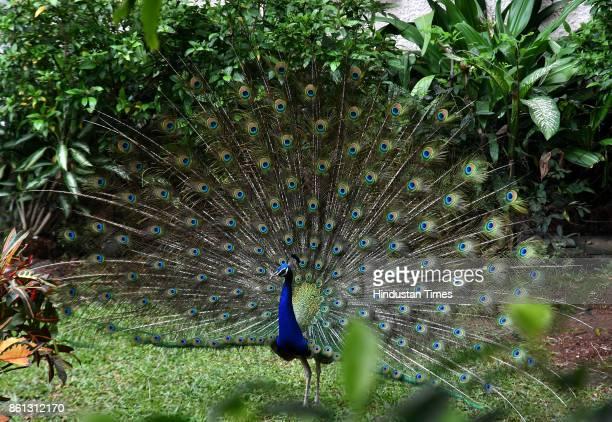 A peacock roams around in a garden in Juhu on October 13 2017 in Mumbai India