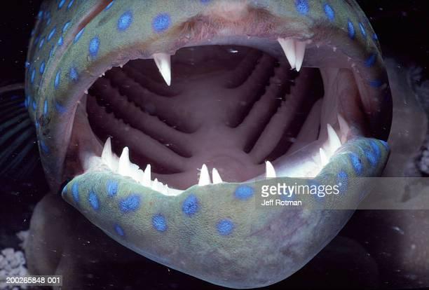 Peacock rockcod (Cephalopholis argus) mouth