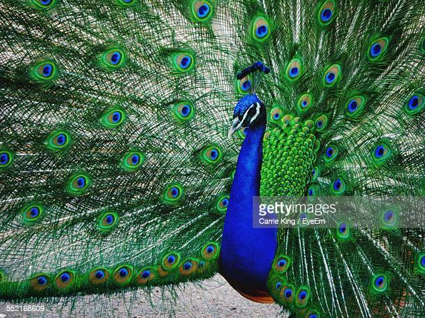 Peacock Showing Feathers