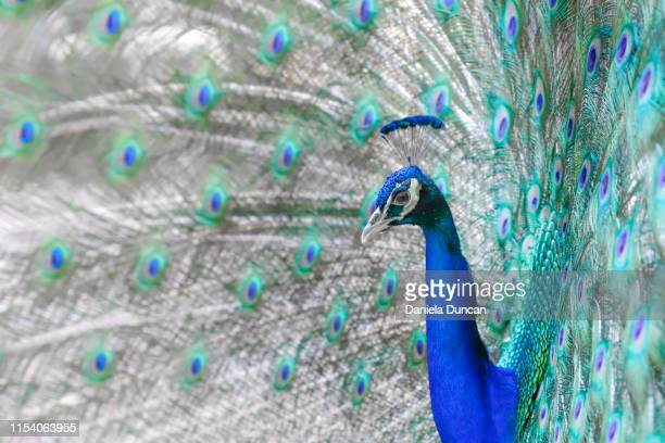 peacock showing his colorful feathers - royal blue stock pictures, royalty-free photos & images
