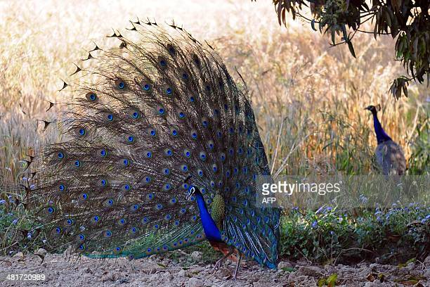 A peacock shows its plumage at Soraon Village on the outskirts of Allahabad on March 31 2014 AFP PHOTO/SANJAY KANOJIA