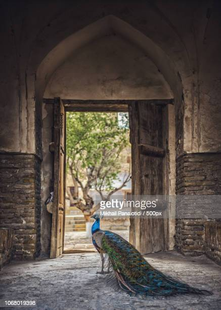 peacock standing in door - oezbekistan stockfoto's en -beelden