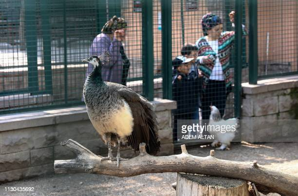 A peacock stands in its enclosure at the Kecioren Municipality Pet Park in Ankara on March 14 2019