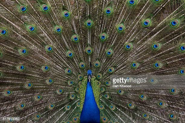 A peacock struts inside the grounds of the Limonos Monastery on March 26 2016 in Kalloni Greece The Byzantine monastery worked until the Ottomans...