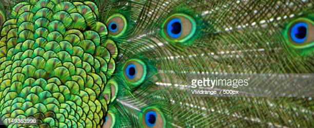 peacock tail feather in detail - pheasant tail feathers imagens e fotografias de stock
