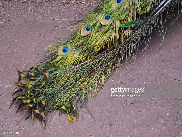 peacock tail - eleganz stock pictures, royalty-free photos & images