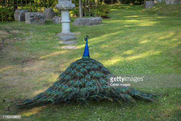 peacock walking away in holland park - holland park stock pictures, royalty-free photos & images
