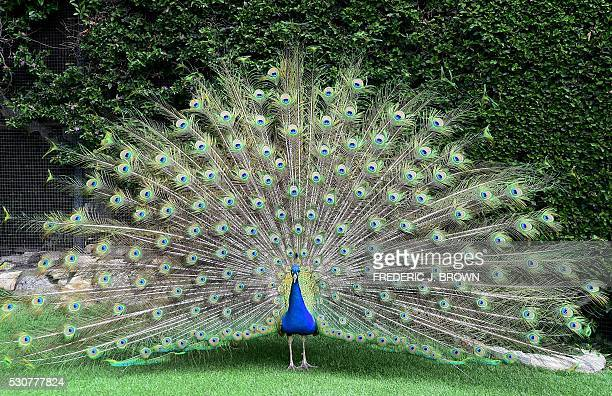 A peacock walks across the lawn at the Playboy Mansion in Holmby Hills Los Angeles California on May 11 2016 / AFP / FREDERIC J BROWN