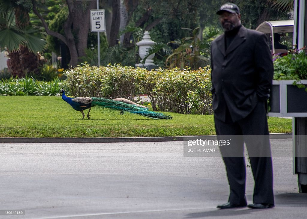 A peacock walks behind a security man guarding the main gate to Hollywood Forever Cemetery during the funeral of Mick Jagger's girlfriend LWren Scott in Hollywood, California on March 25, 2014. The model-turned-fashion designer was found hanged in her luxury New York apartment last week. She was 49. The cemetery was closed for the roughly one-hour service, held amid tight security.