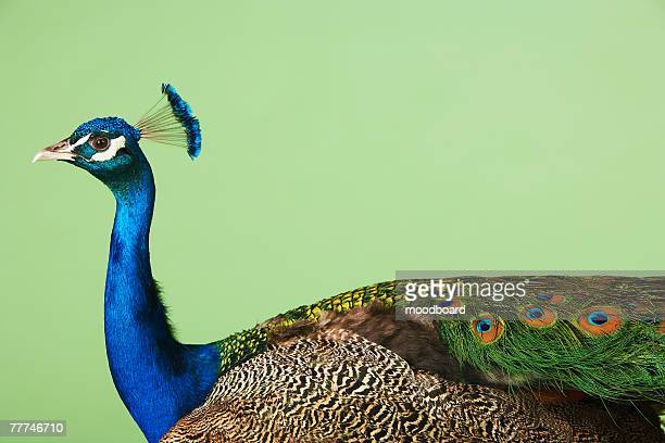 peacock with blue head - peacock stock pictures, royalty-free photos & images