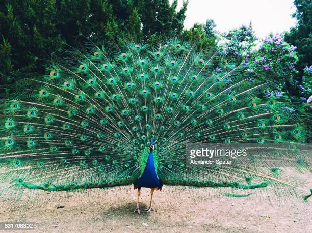 peacock with fanned out feathers - peacock stock pictures, royalty-free photos & images