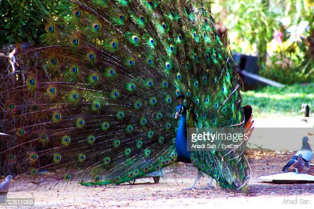 peacock with feathers fanned out on field - manama stock pictures, royalty-free photos & images