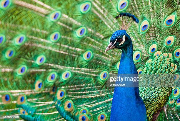 peacock with feathers - peacock stock pictures, royalty-free photos & images