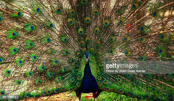 Peacock with Open Wings