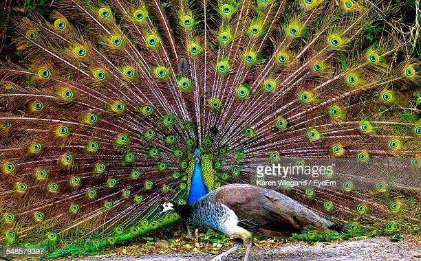 peacocks on field - male animal stock photos and pictures
