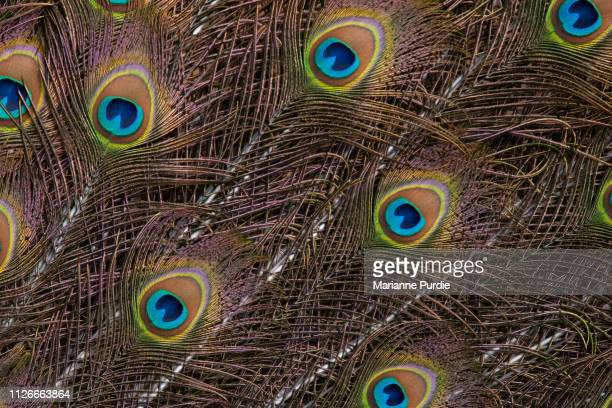 peacock's tail feathers - pheasant tail feathers imagens e fotografias de stock