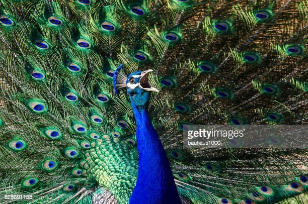 paons ou paon au plumage extravagant - paon photos et images de collection
