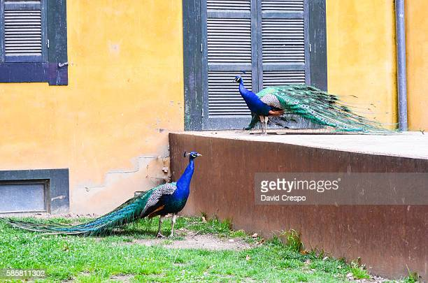 peafowls - pheasant tail feathers stock pictures, royalty-free photos & images
