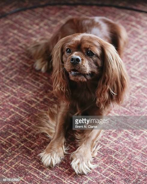 'Peak' a Cavalier King Charles Spaniel attends the 2015 Westminster Week Preview at Hotel Pennsylvania on January 21 2015 in New York City