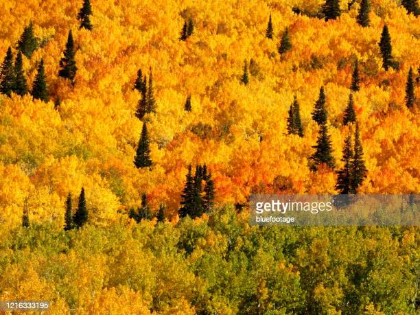 peak season, fall colorado - bluefootage stock pictures, royalty-free photos & images