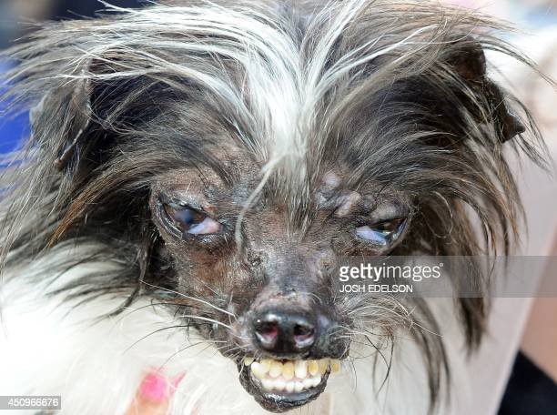 Peanut a mutt who is suspected of being a ChihuahuaShitzu mix is seen at The World's Ugliest Dog Competition in Petaluma California on June 20 2014...