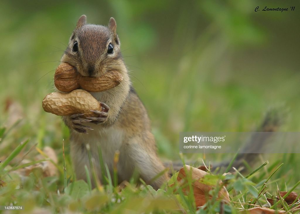 Peanut squirrel trying to figure out how to carry two big peanuts to his den in one trip.