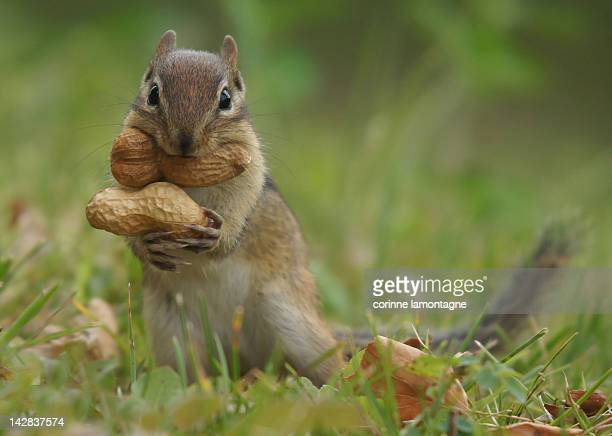 peanut - Pictures Of Squirrels