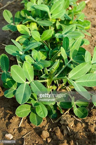 Planta de Amendoim