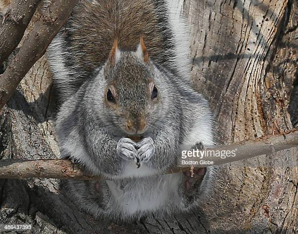 Peanuts are for lunch thanks to a donation as a woman passing by drew a crowd of squirrels around a tree in the Boston Common One squirrel got to...