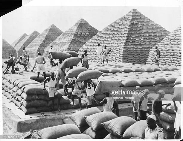 Peanuts, bagged and ready for transport, are stacked in pyramids at Kano, Northern Region, Nigeria, 1955.