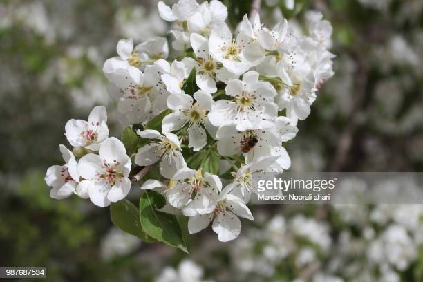 Pear Blossom and bee