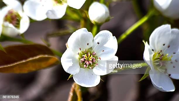 Pear Blossom (Pyrus pyrifolia)
