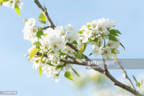 pear blossoms - ian gwinn stock pictures, royalty-free photos & images
