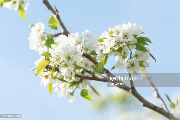 pear blossoms - ian gwinn ストックフォトと画像
