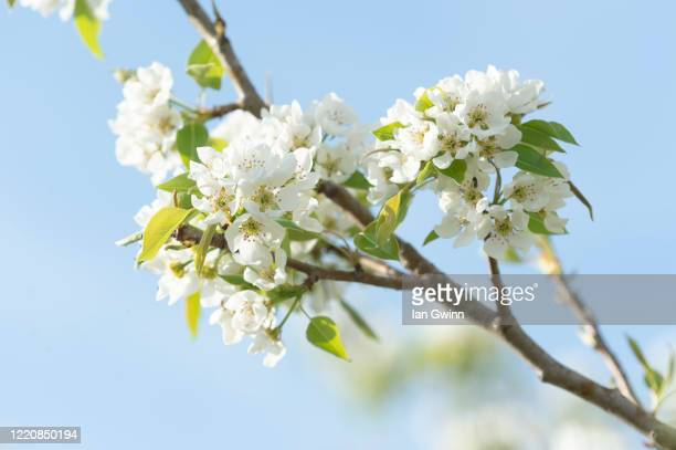 pear blossoms_1 - ian gwinn stock pictures, royalty-free photos & images