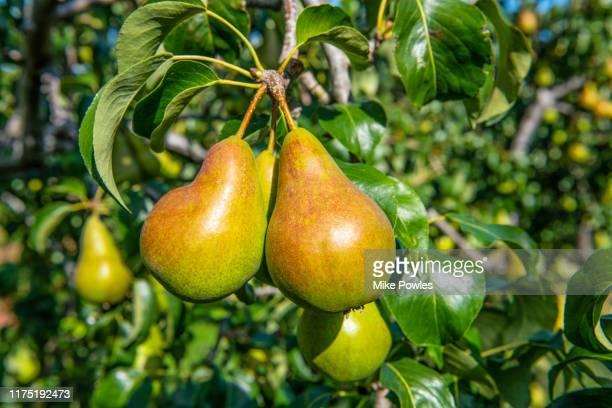 pear concord fruit on tree. norfolk. uk - 果樹 ストックフォトと画像