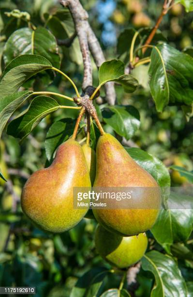 pear concord fruit on tree. norfolk. uk - tree stock pictures, royalty-free photos & images