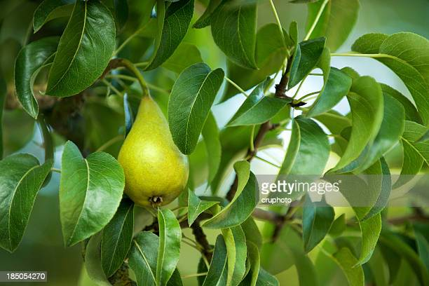 Pear hanging from tree