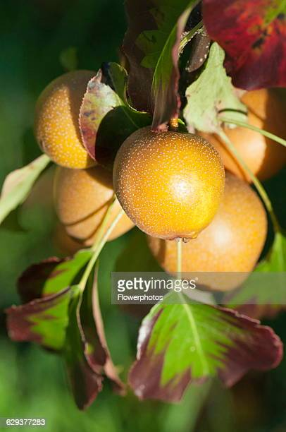 Pear Nashi Pear Pyrus pyrifolia Close view of the golden rounded fruits growing on the tree