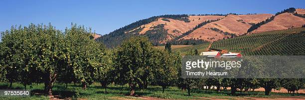 pear orchard; barns and mountains beyond - timothy hearsum stock-fotos und bilder