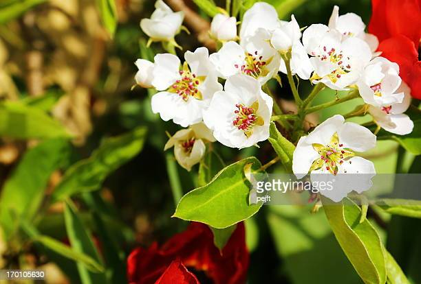 pear tree blooming flower in the spring - pejft stock pictures, royalty-free photos & images