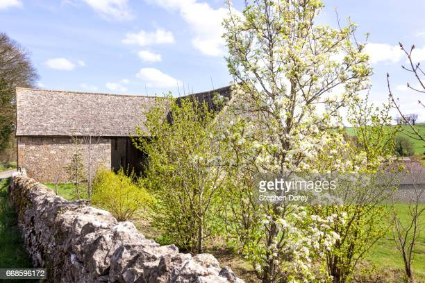 A pear tree blossoming in springtime by an old stone barn near the Cotswold village of Guiting Power, Gloucestershire UK