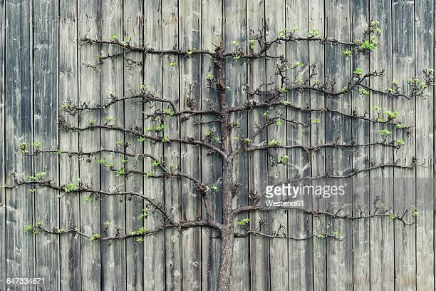 pear tree growing on old wooden wall - obstbaum stock-fotos und bilder