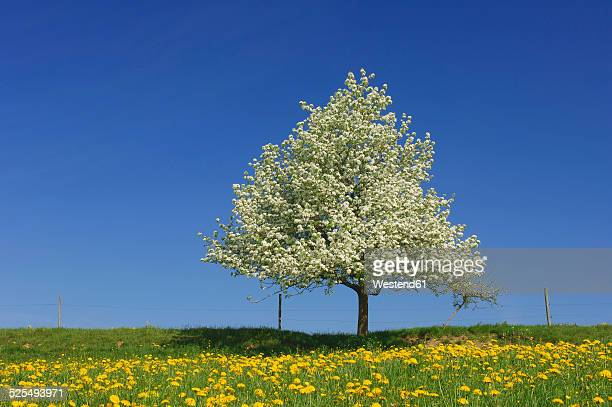 Pear tree on a meadow with dandelions in front of blue sky