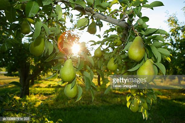 Pear tree with fruits, backlit